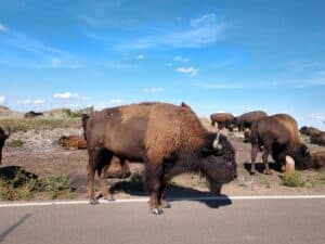 A buffalo standing on the side of the road